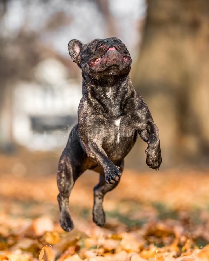 French bulldog dark jumping through autumn or fall leaves with mouth open and tongue out eyes closed. all feet or paws up royalty free stock images