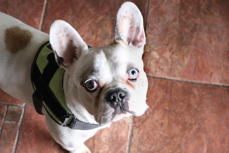 French bulldog with different color eyes stock photos