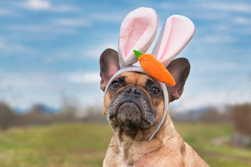 French Bulldog dog dressed up as easter bunny wearing a headband with big rabbit ears and plush carrot on head. Cute French Bulldog dog dressed up as easter stock photos