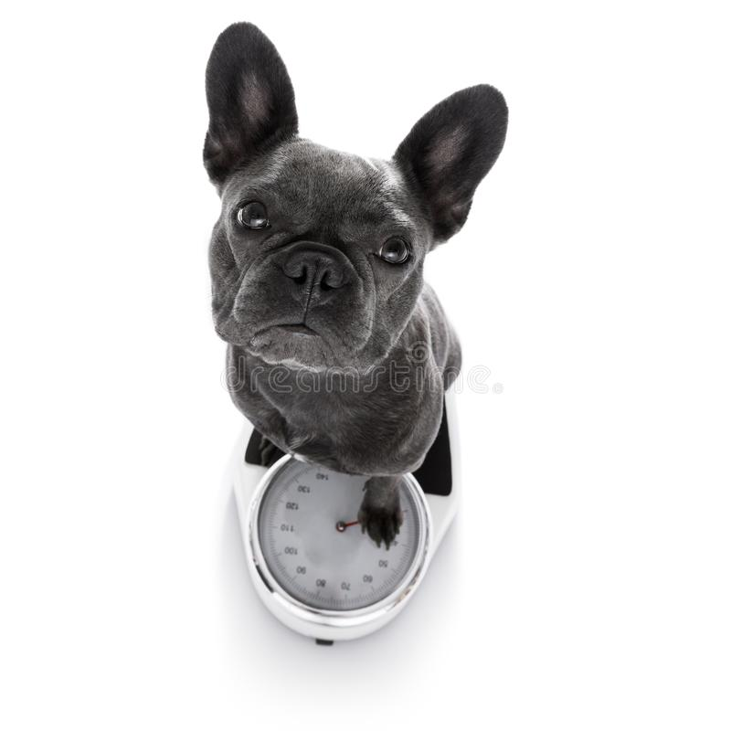 Dog on scale , with overweight stock photos