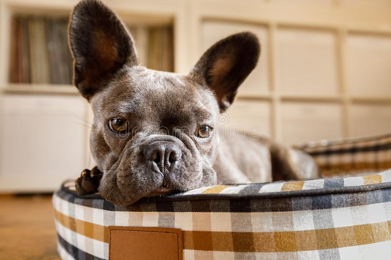 Dog resting on bed at home stock image