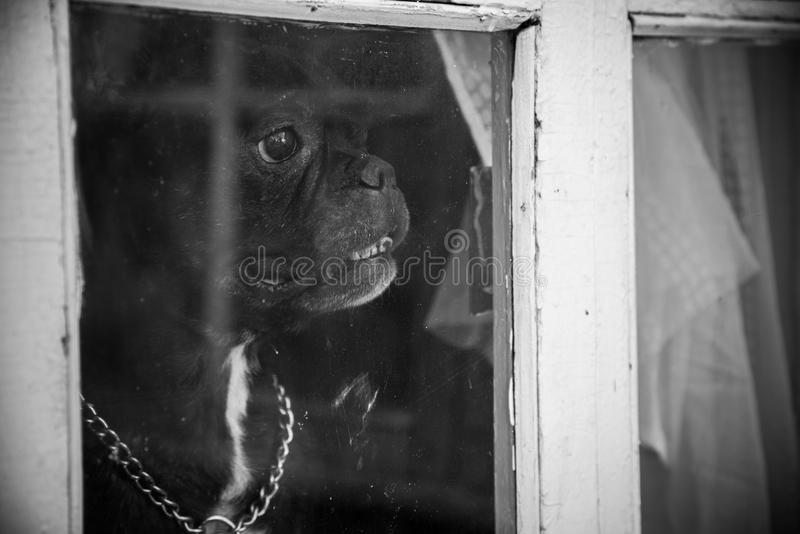 A French bulldog dog waits or meets the hosts and looks through the window. Black and white photography stock photo