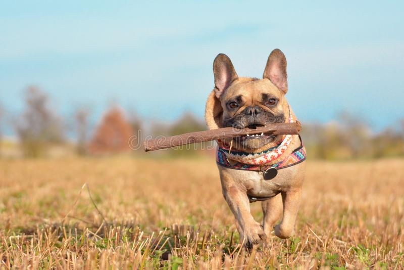 French Bulldog dog wearing a scarf around neck running towards camera playing fetch with wooden stick in muzzle stock photo
