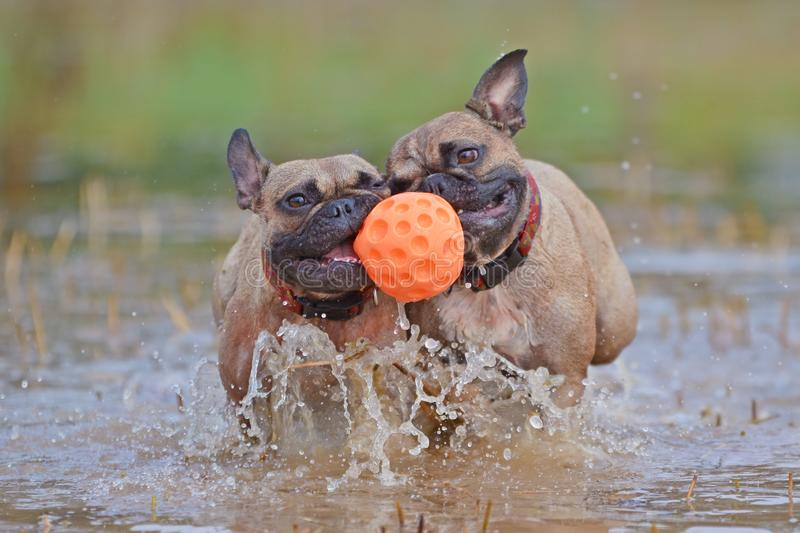 French Bulldog dogs playing fetch in a big puddle, carrying a dog toy ball together in their muzzle. Two brown French Bulldog dogs playing fetch in a big puddle stock photo
