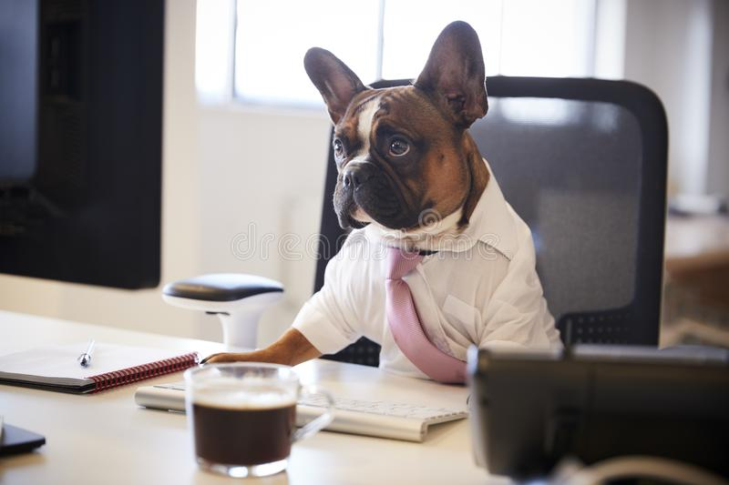 French Bulldog Dressed As Businessman Works At Desk On Computer royalty free stock photography