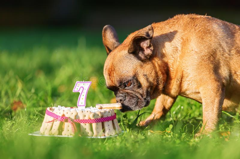 French bulldog eating from a birthday cake. Picture of a french bulldog eating from a birthday cake royalty free stock image