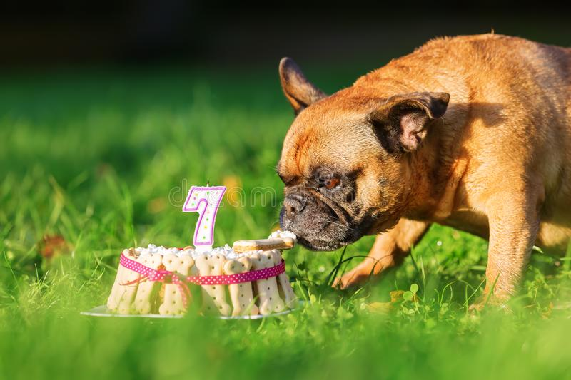 French bulldog eating from a birthday cake. Picture of a french bulldog eating from a birthday cake royalty free stock photos