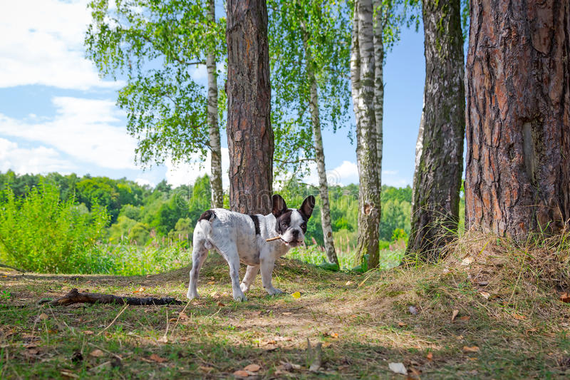 Download French Bulldog In The Forest Stock Image - Image: 33362151