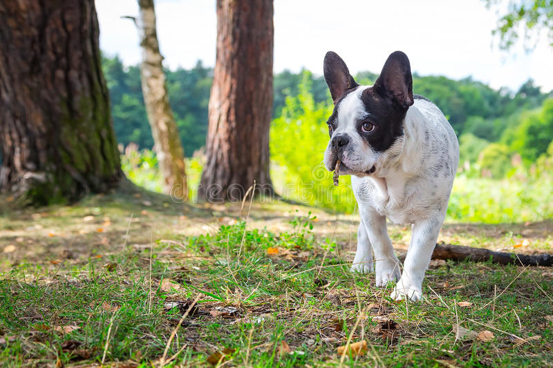 Download French Bulldog In The Forest Stock Image - Image: 33361985