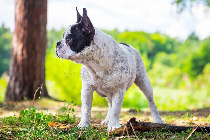 Download French Bulldog In The Forest Stock Photo - Image: 33362184