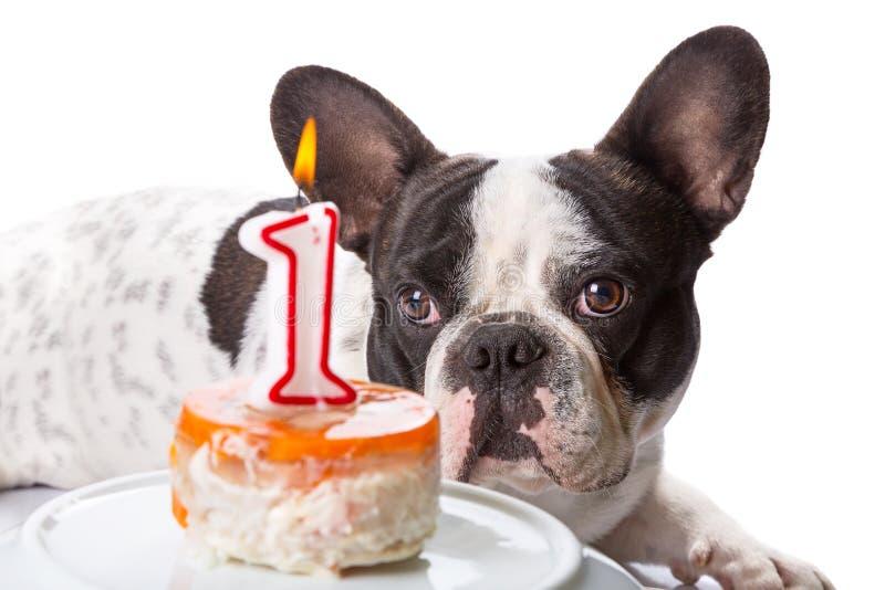 French Bulldog On His First Birthday Stock Photo
