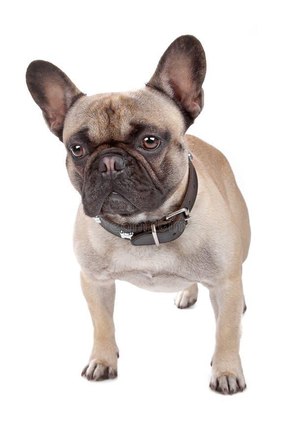 Download French Bulldog Isolated On White Stock Photo - Image: 16661462