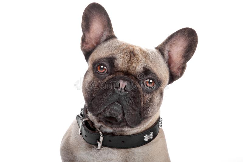 Download French Bulldog Isolated On White Royalty Free Stock Image - Image: 16661476