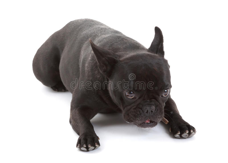 83cd7ab4 French bulldog isolated, chewing on a bone. French bulldog isolated on a white  background