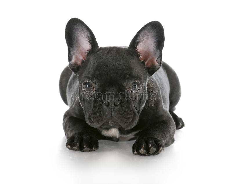 Download French bulldog laying down stock image. Image of adorable - 16233921