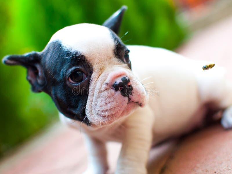 French bulldog. Little French bulldog at attention stock photo