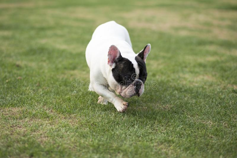 French Bulldog. The French FRENCH BULLDOG is a lively, intelligent and muscular dog with heavy bones, smooth hair, compact structure, medium or small size. The royalty free stock photo
