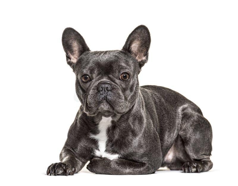 French bulldog lying, isolated stock photo
