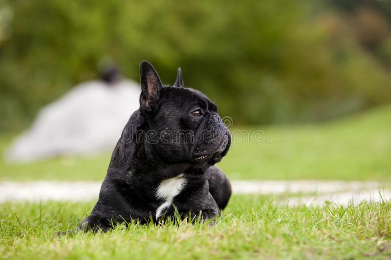 Download French Bulldog Male Portrait Stock Image - Image: 34414715