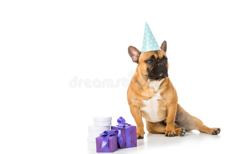 French bulldog in party cone sitting near wrapped gifts. On white royalty free stock images