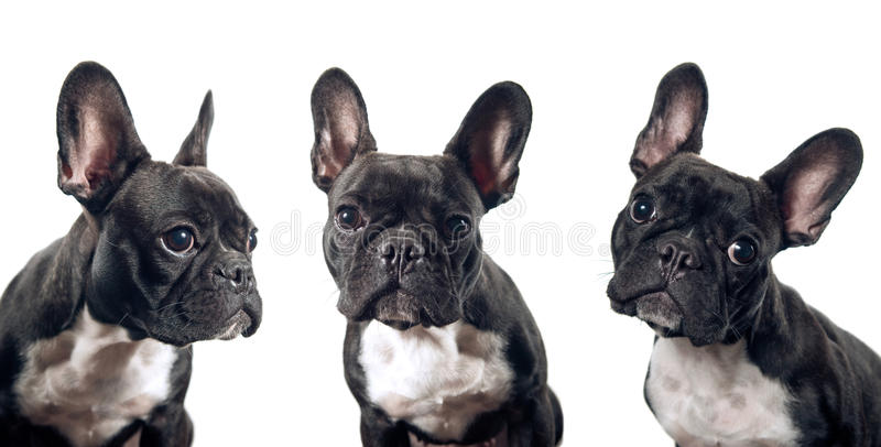 French bulldog portrait. Isolated on white background royalty free stock images