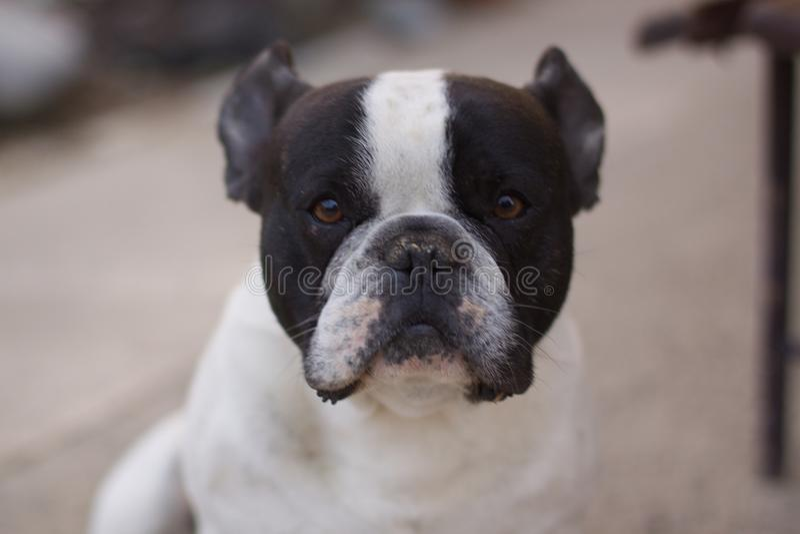 French Bulldog portrait, focused stock images