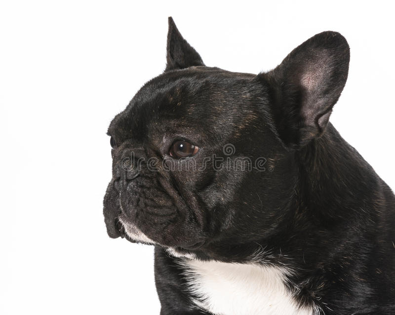Download French bulldog stock image. Image of french, canine, looking - 42361779