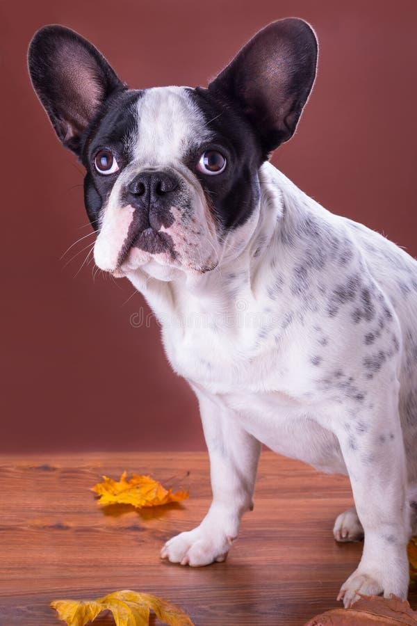French Bulldog Portrait Stock Photography