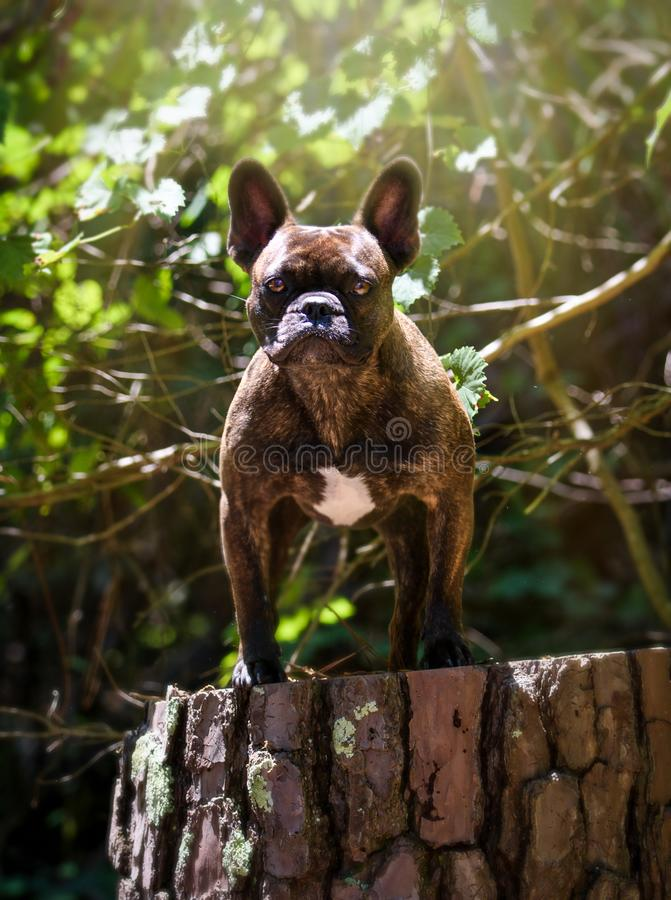 French Bulldog posing on a stump. Brindle French bulldog posing for his portrait on a tree stump royalty free stock images