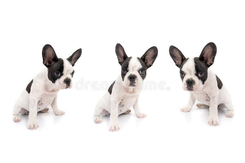Download French bulldog puppies stock photo. Image of full, canine - 31690398