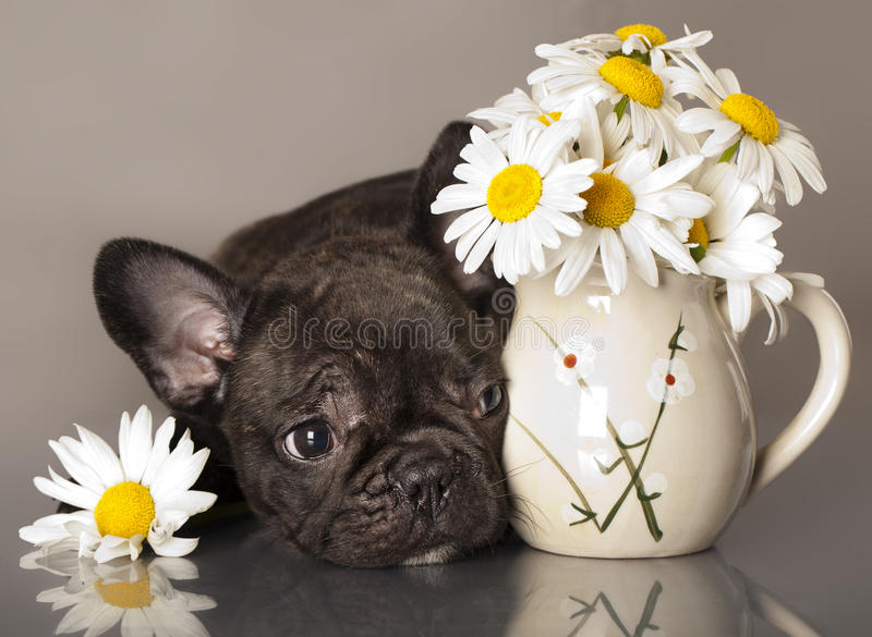 Download French bulldog puppy stock image. Image of breed, alert - 25171751