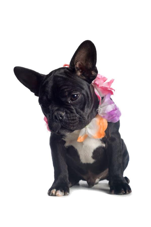 French Bulldog Puppy stock photography