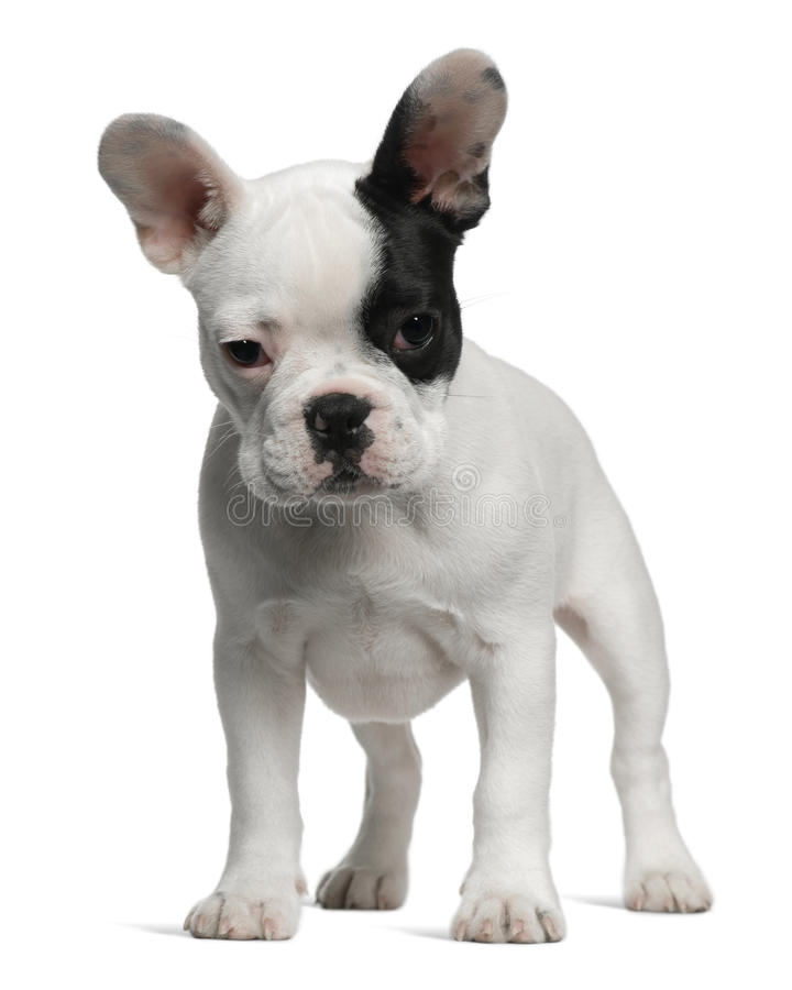French Bulldog puppy, 3 months old, standing stock photography