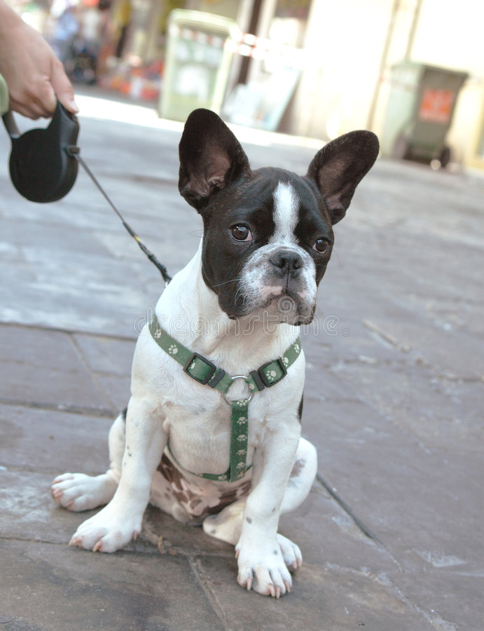 Download French bulldog puppy stock image. Image of animal, portrait - 776013
