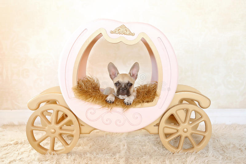 French Bulldog puppy in carriage royalty free stock photos