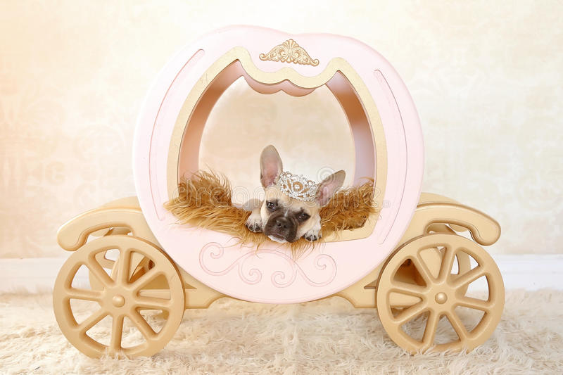 French Bulldog puppy in carriage with crown stock image