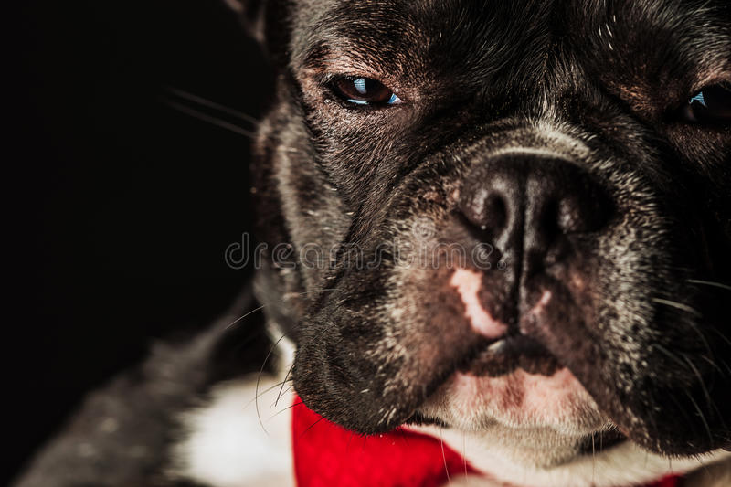 French bulldog puppy dog wearing bowtie looking like a boss. Closeup portrait of an adorable french bulldog puppy dog wearing a red bowtie and looks very serious stock photo