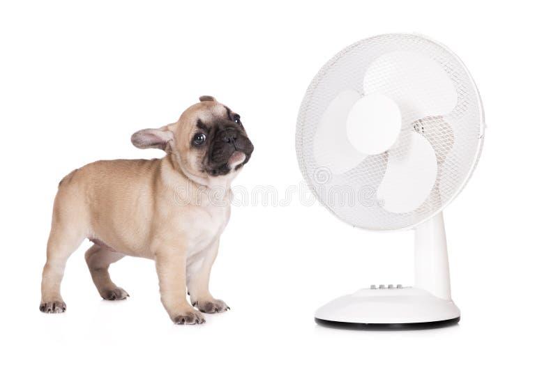 Wonderful Bulldog Canine Adorable Dog - french-bulldog-puppy-front-fan-adorable-white-52695997  Image_229743  .jpg