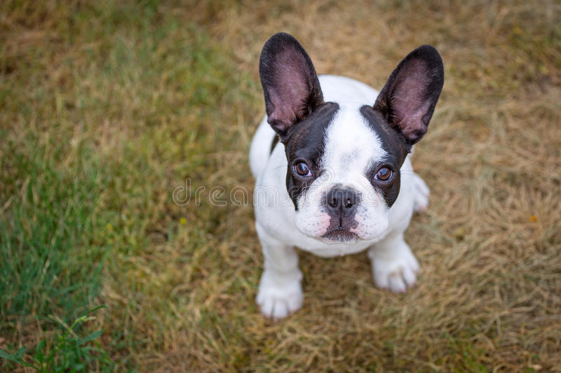 Download French bulldog puppy stock image. Image of happy, poland - 33761719