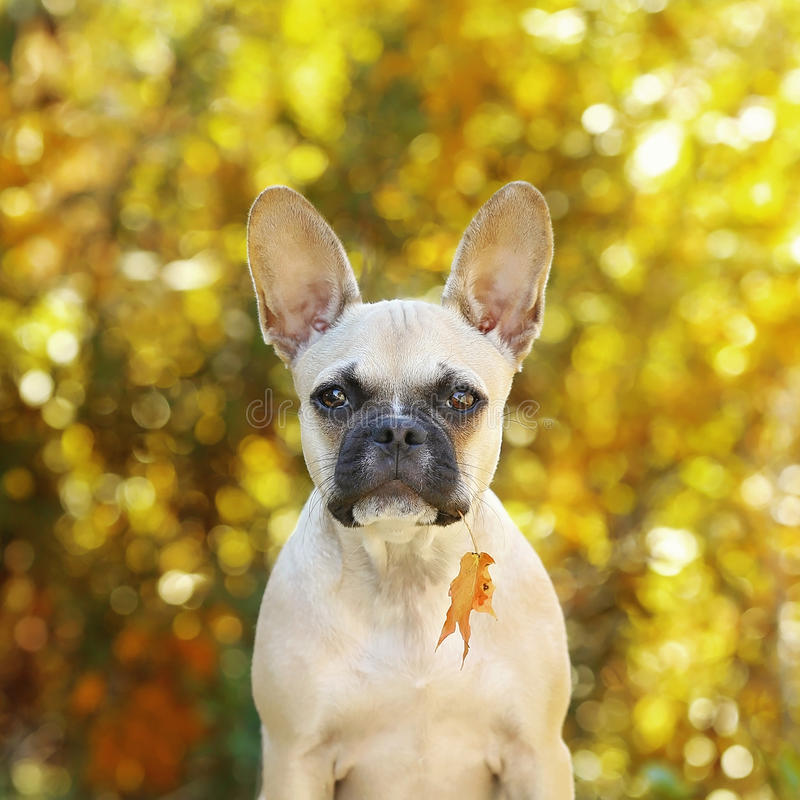 French bulldog puppy with leaf in mouth stock photos