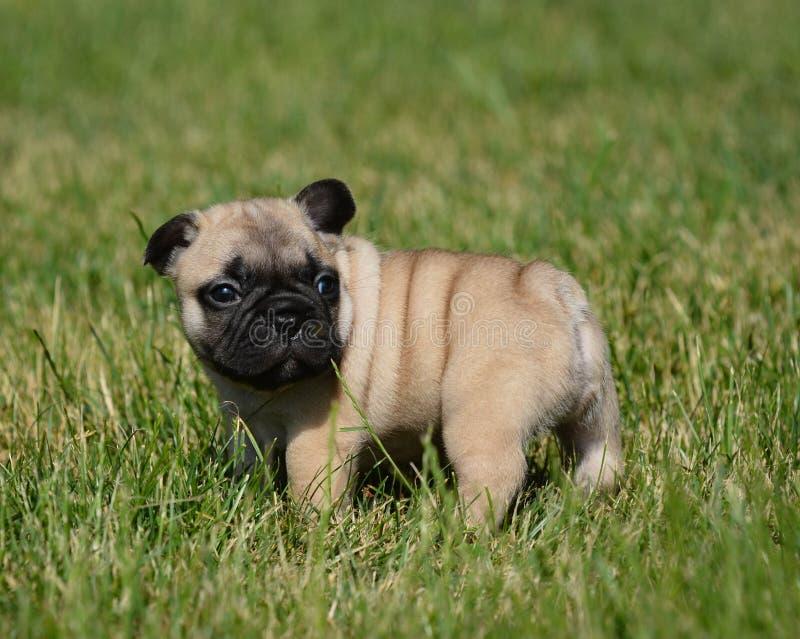 french bulldog puppy outside royalty free stock photos