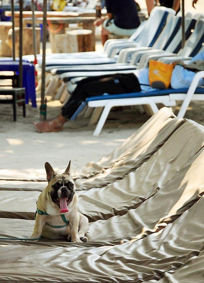 French bulldog puppy rest near beach royalty free stock image