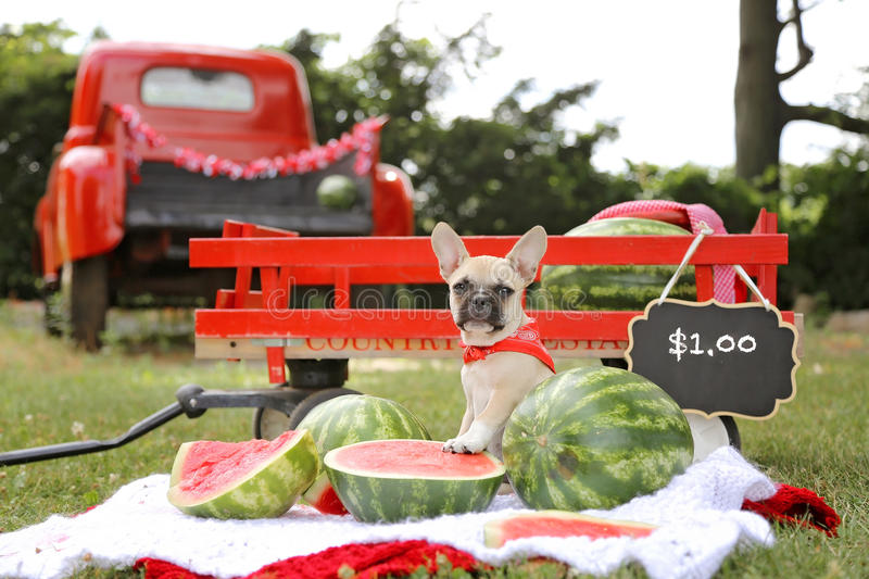 French bulldog puppy selling watermelon. Fruit with a red bandana royalty free stock photography