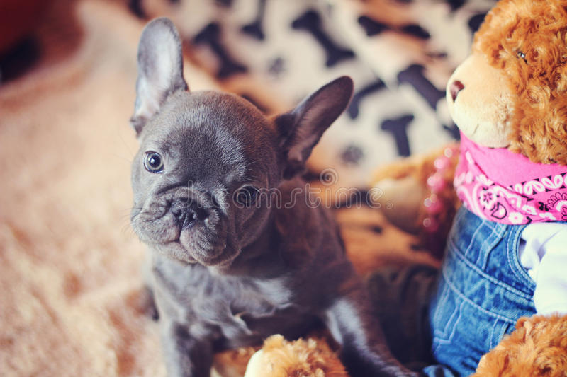 French bulldog puppy with teddy bear stock photos