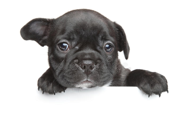 French bulldog puppy white banner stock images