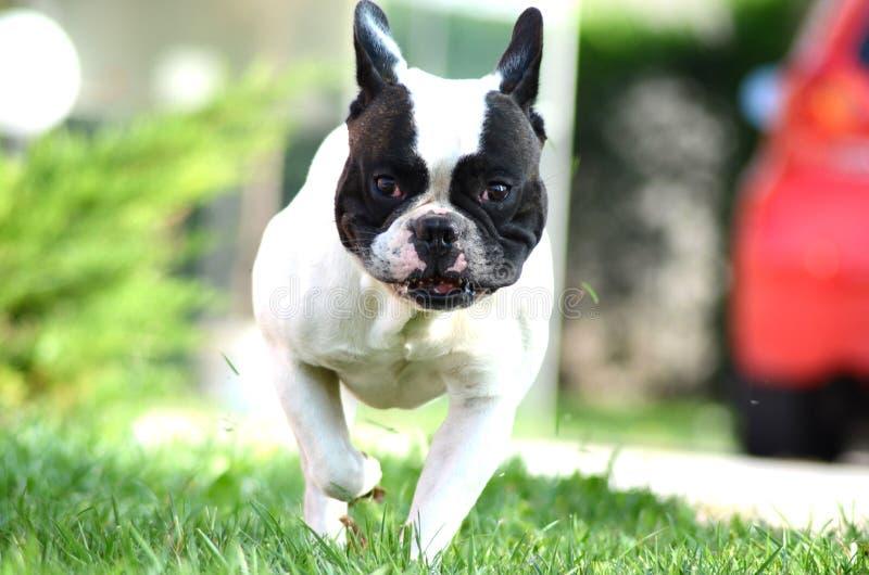French bulldog run stock images