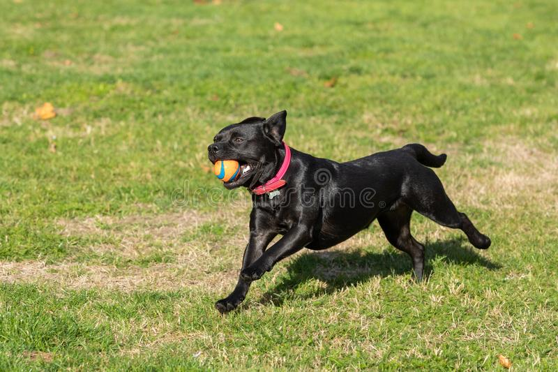 french bulldog running and jumping on the lawn royalty free stock images