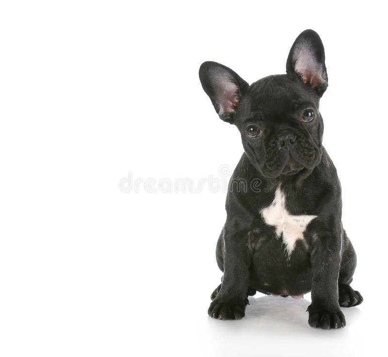 French bulldog sitting stock photos