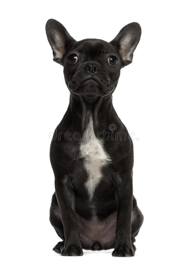 French Bulldog sitting and looking royalty free stock images