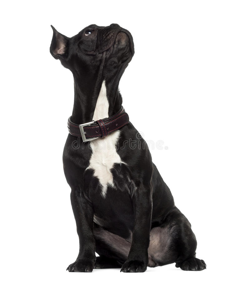 French Bulldog sitting and looking up stock photo